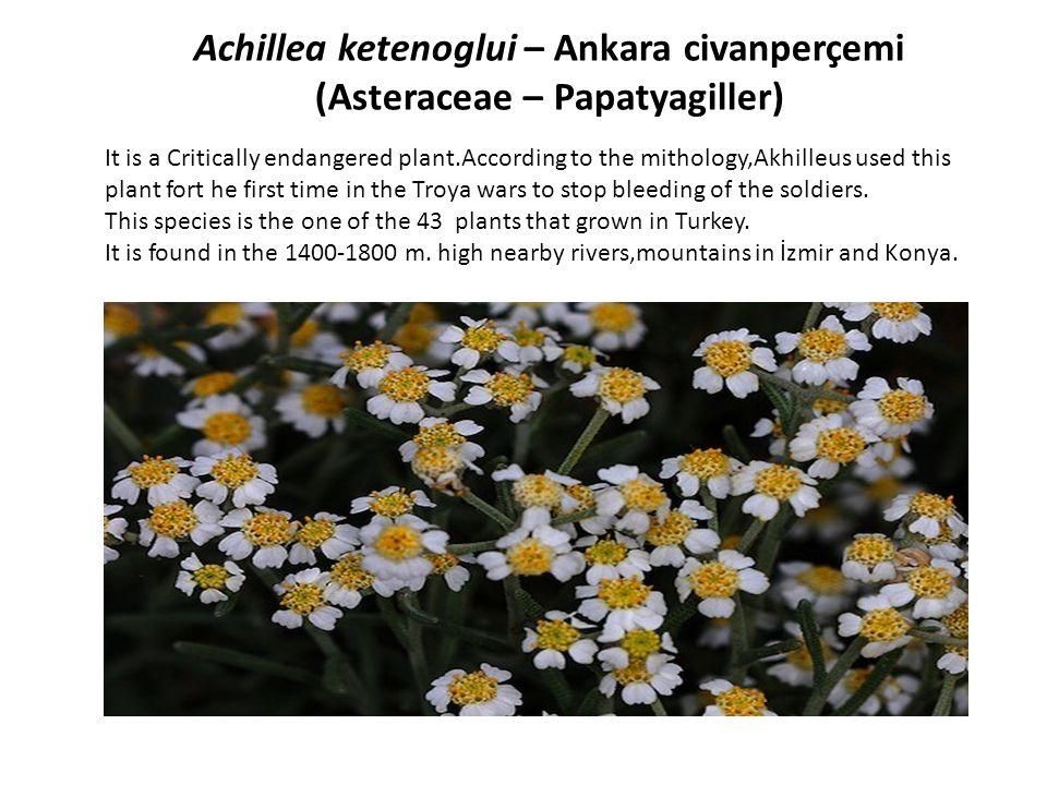 Achillea ketenoglui – Ankara civanperçemi (Asteraceae – Papatyagiller)