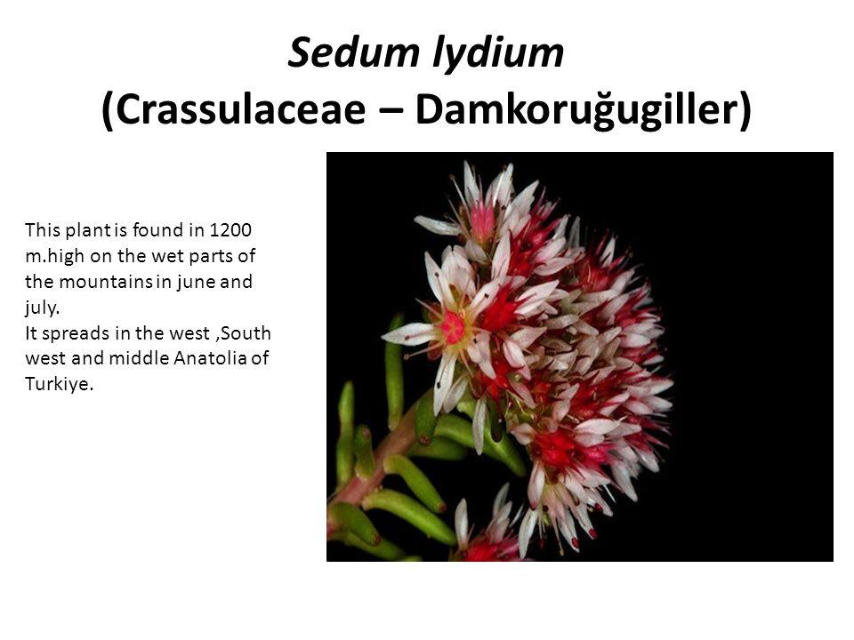 Sedum lydium (Crassulaceae – Damkoruğugiller)