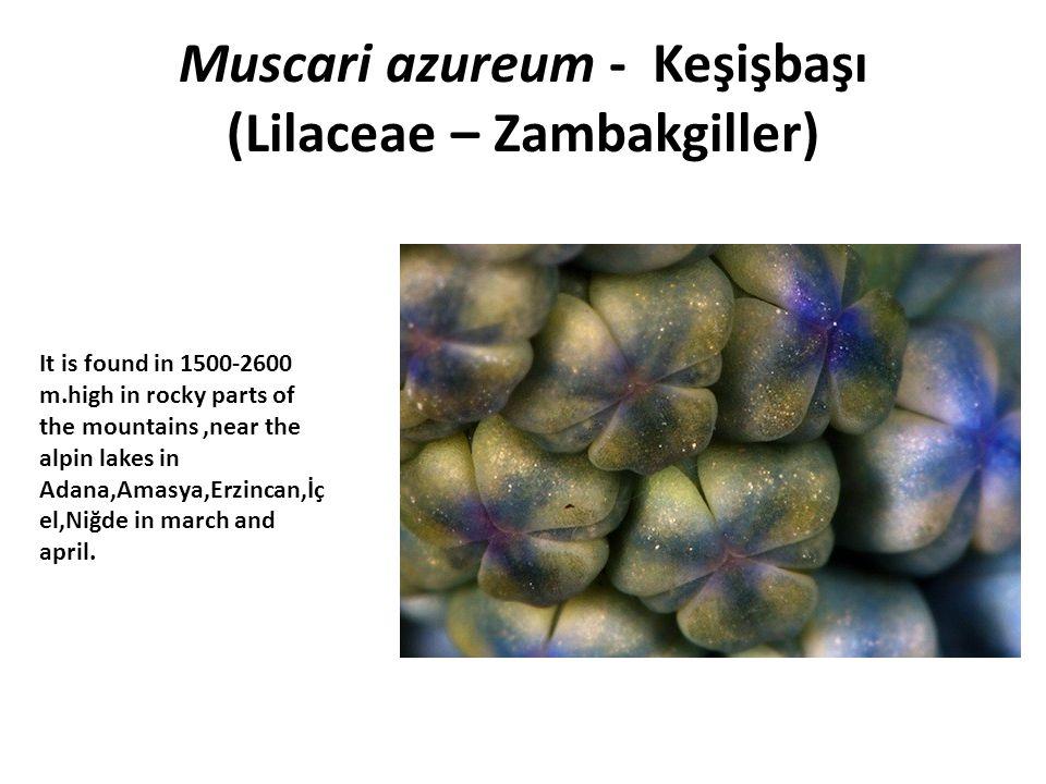 Muscari azureum - Keşişbaşı (Lilaceae – Zambakgiller)