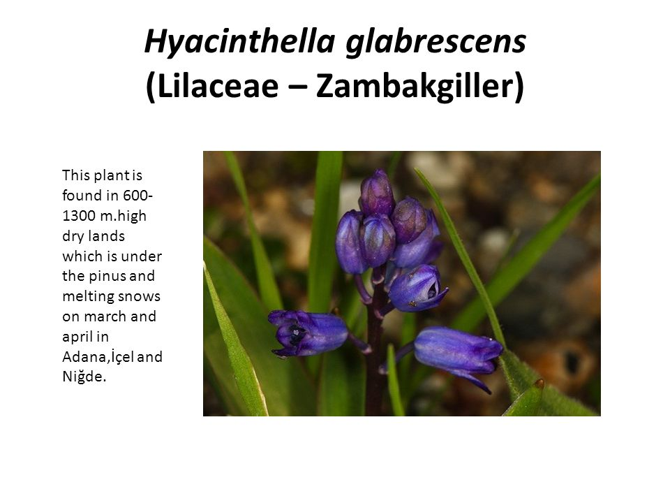 Hyacinthella glabrescens (Lilaceae – Zambakgiller)