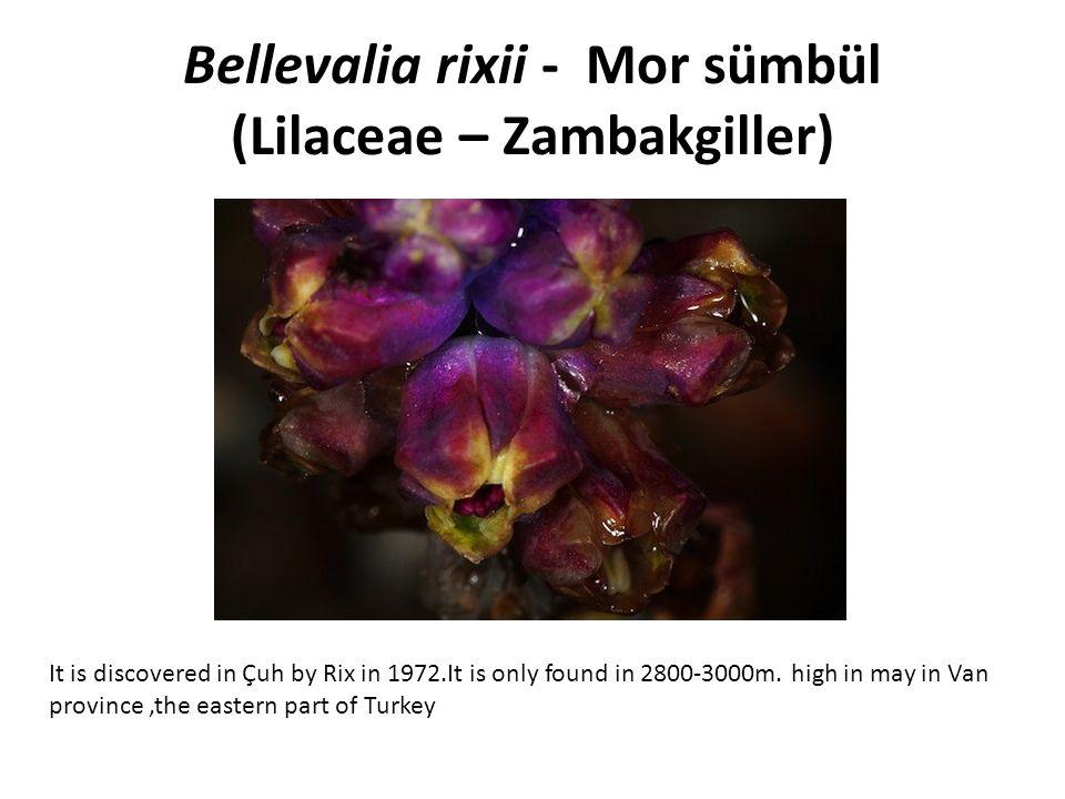 Bellevalia rixii - Mor sümbül (Lilaceae – Zambakgiller)