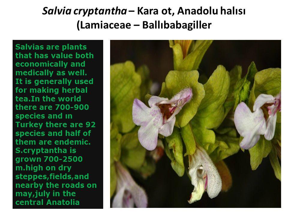 Salvia cryptantha – Kara ot, Anadolu halısı (Lamiaceae – Ballıbabagiller
