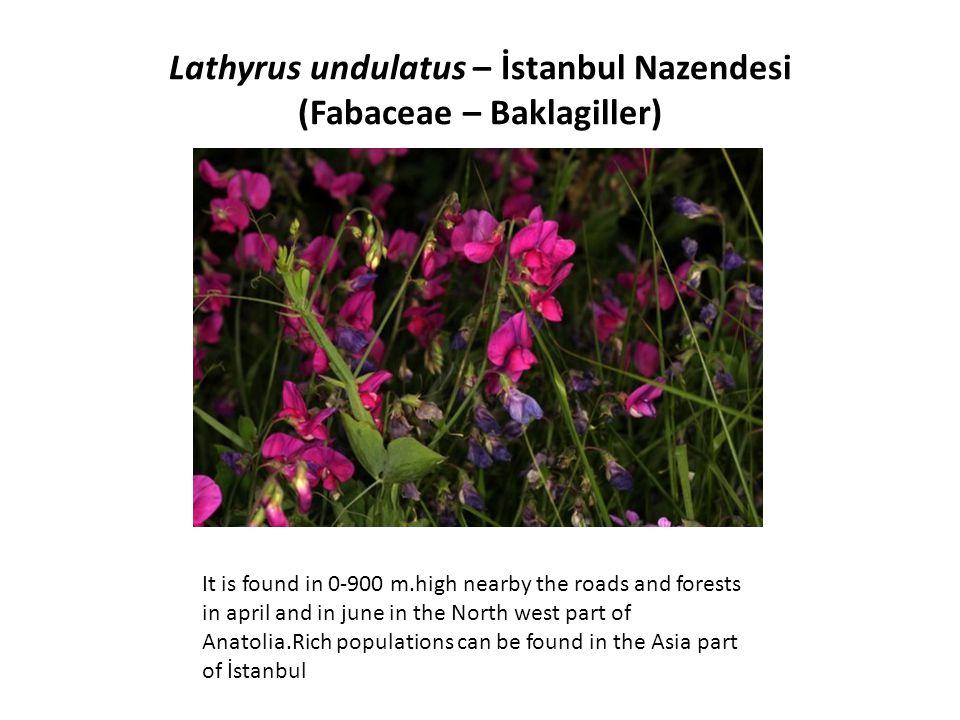 Lathyrus undulatus – İstanbul Nazendesi (Fabaceae – Baklagiller)