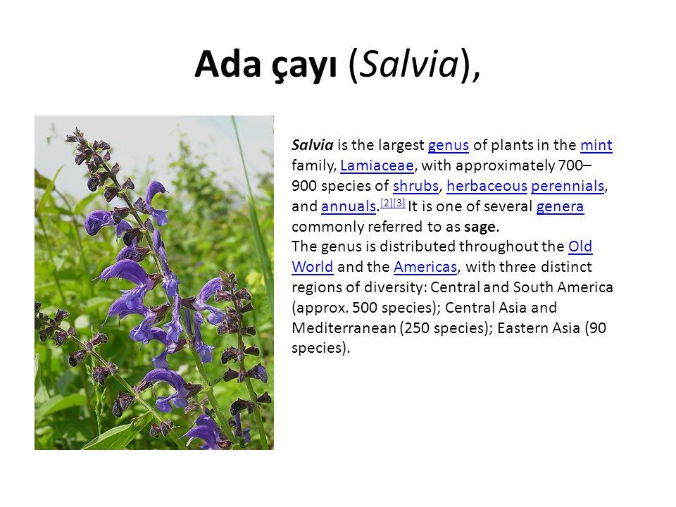 Ada çayı (Salvia),