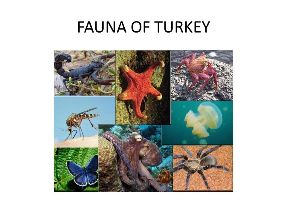 FAUNA OF TURKEY
