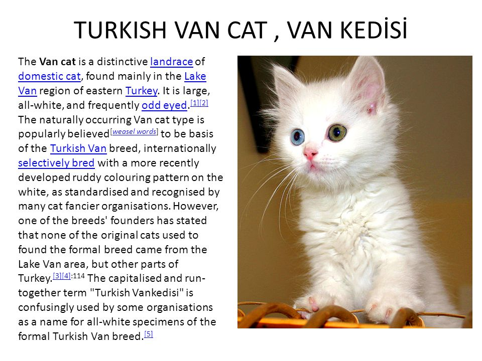 TURKISH VAN CAT , VAN KEDİSİ
