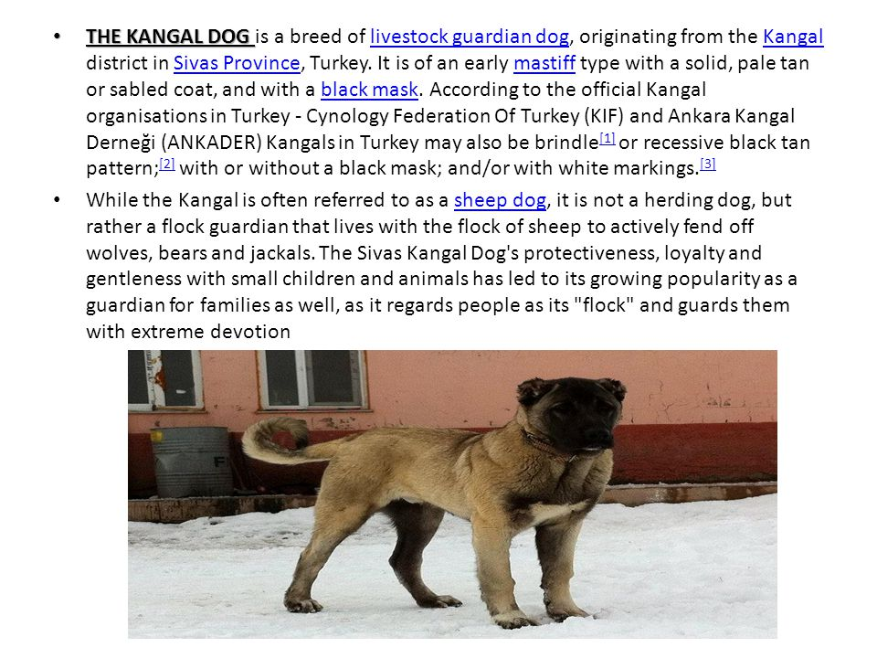 THE KANGAL DOG is a breed of livestock guardian dog, originating from the Kangal district in Sivas Province, Turkey. It is of an early mastiff type with a solid, pale tan or sabled coat, and with a black mask. According to the official Kangal organisations in Turkey - Cynology Federation Of Turkey (KIF) and Ankara Kangal Derneği (ANKADER) Kangals in Turkey may also be brindle[1] or recessive black tan pattern;[2] with or without a black mask; and/or with white markings.[3]