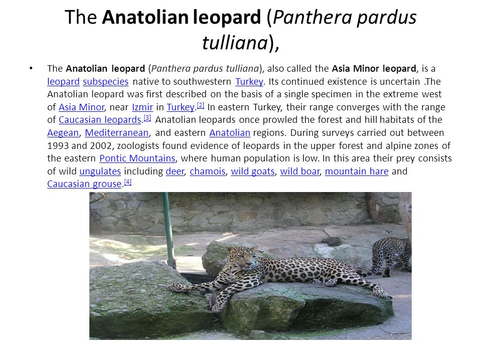 The Anatolian leopard (Panthera pardus tulliana),