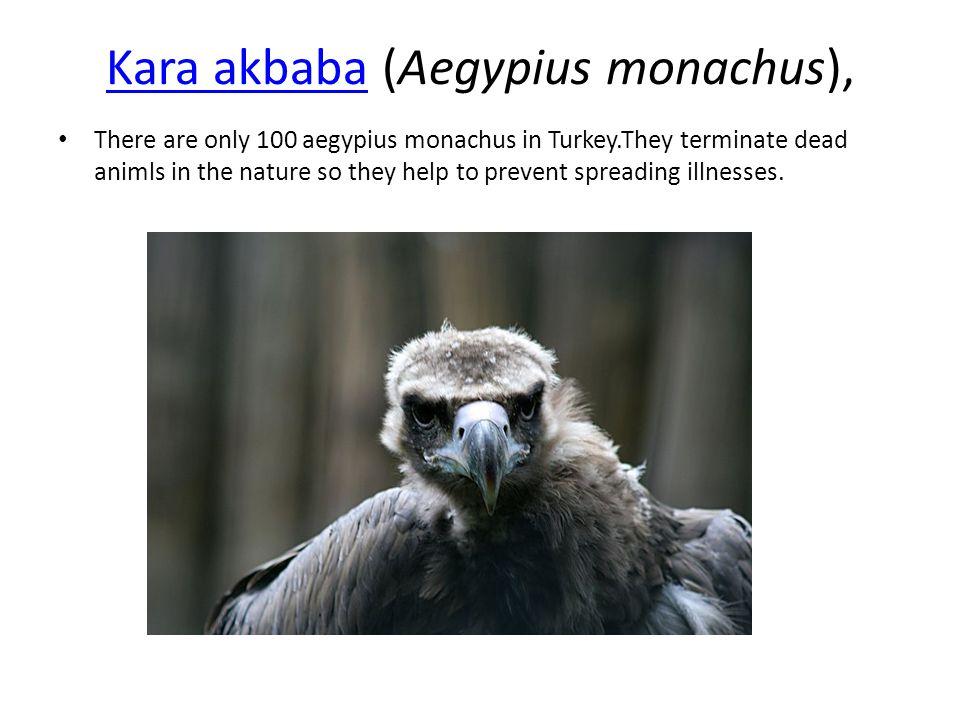 Kara akbaba (Aegypius monachus),
