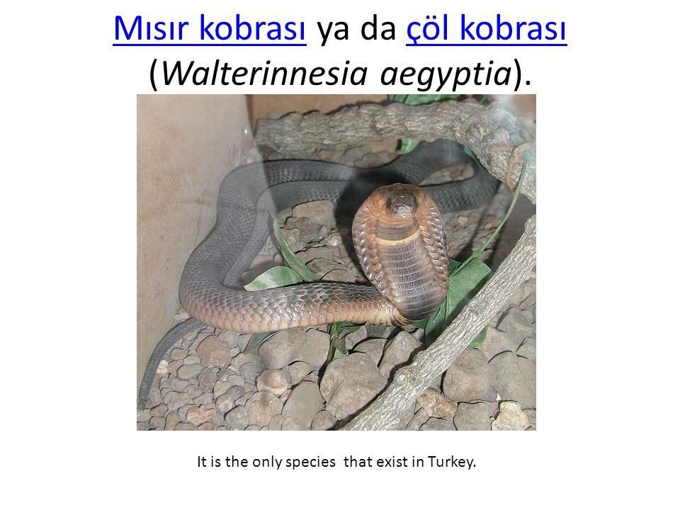 Mısır kobrası ya da çöl kobrası (Walterinnesia aegyptia).