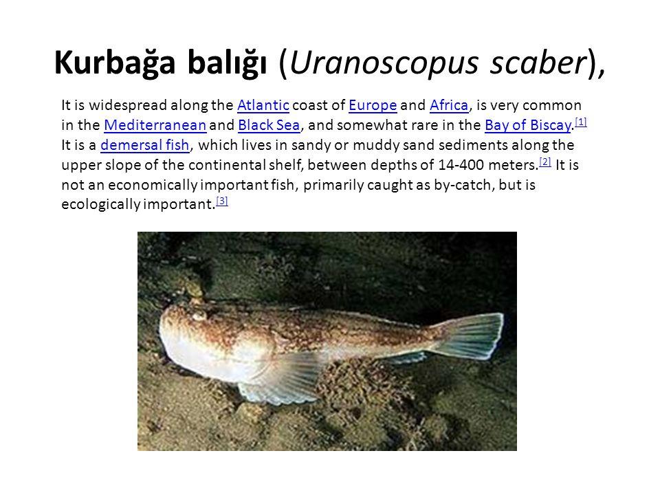 Kurbağa balığı (Uranoscopus scaber),