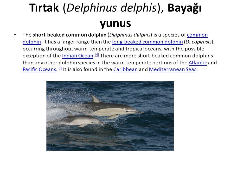 Tırtak (Delphinus delphis), Bayağı yunus