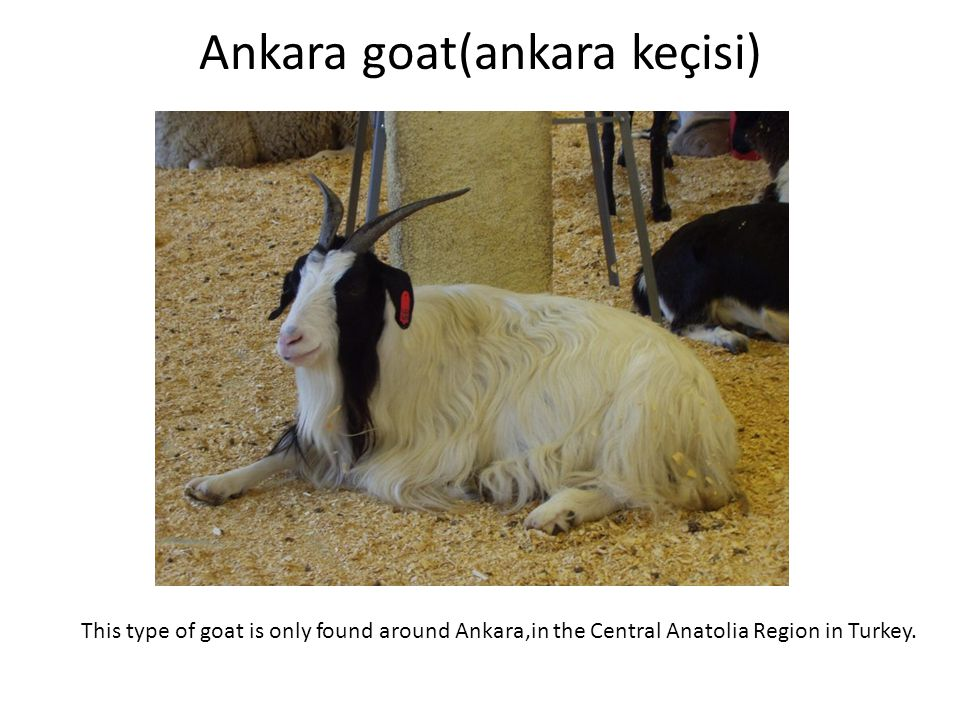 Ankara goat(ankara keçisi)