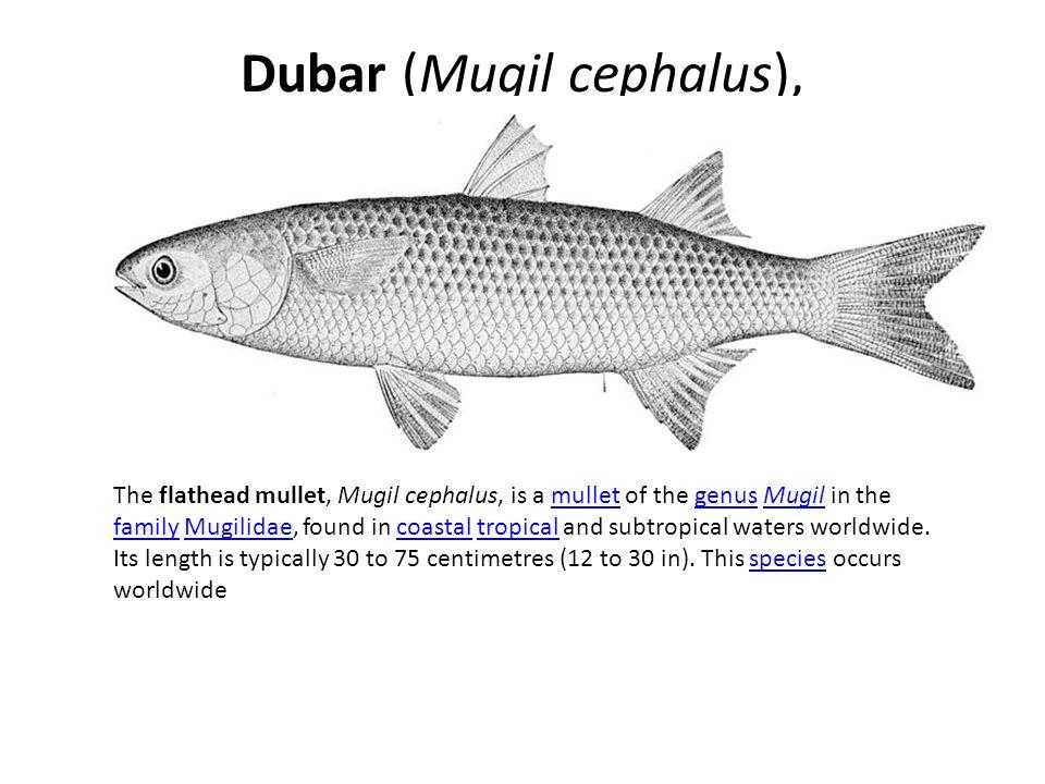 Dubar (Mugil cephalus),
