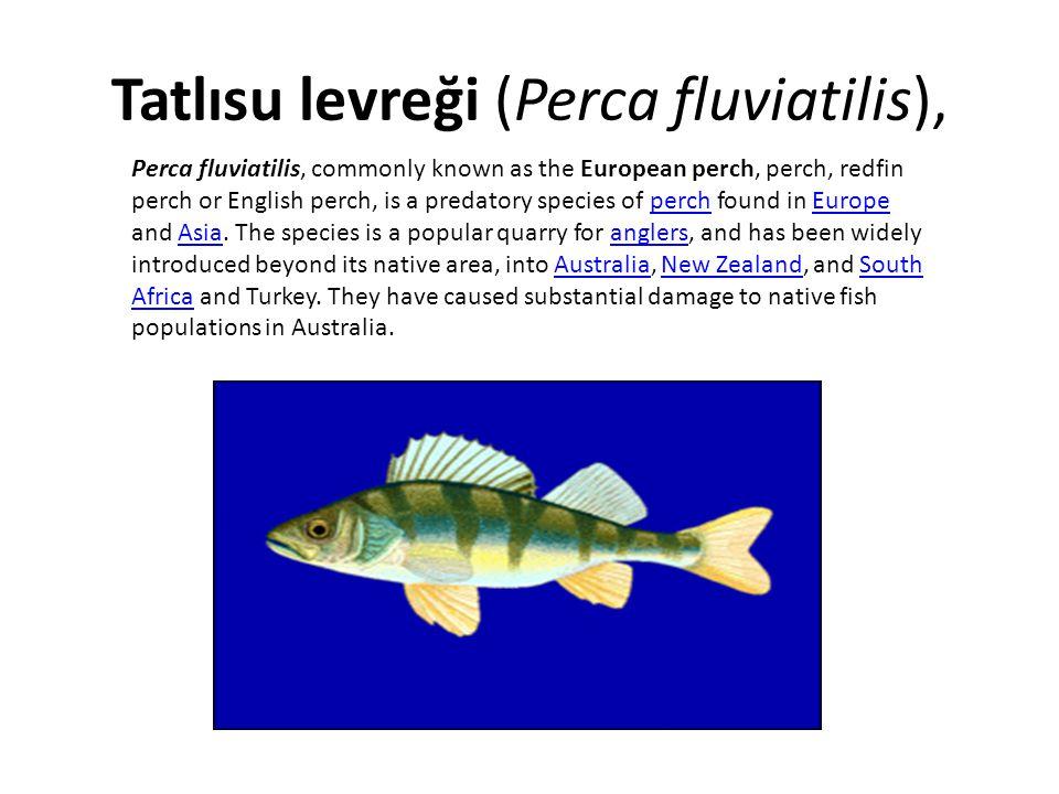 Tatlısu levreği (Perca fluviatilis),