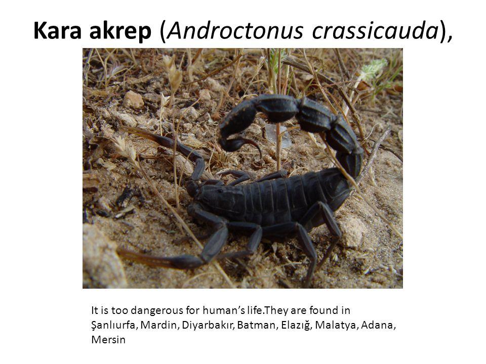 Kara akrep (Androctonus crassicauda),
