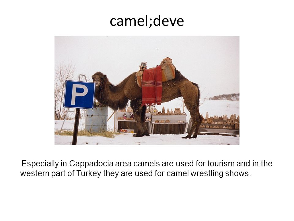 camel;deve Especially in Cappadocia area camels are used for tourism and in the western part of Turkey they are used for camel wrestling shows.