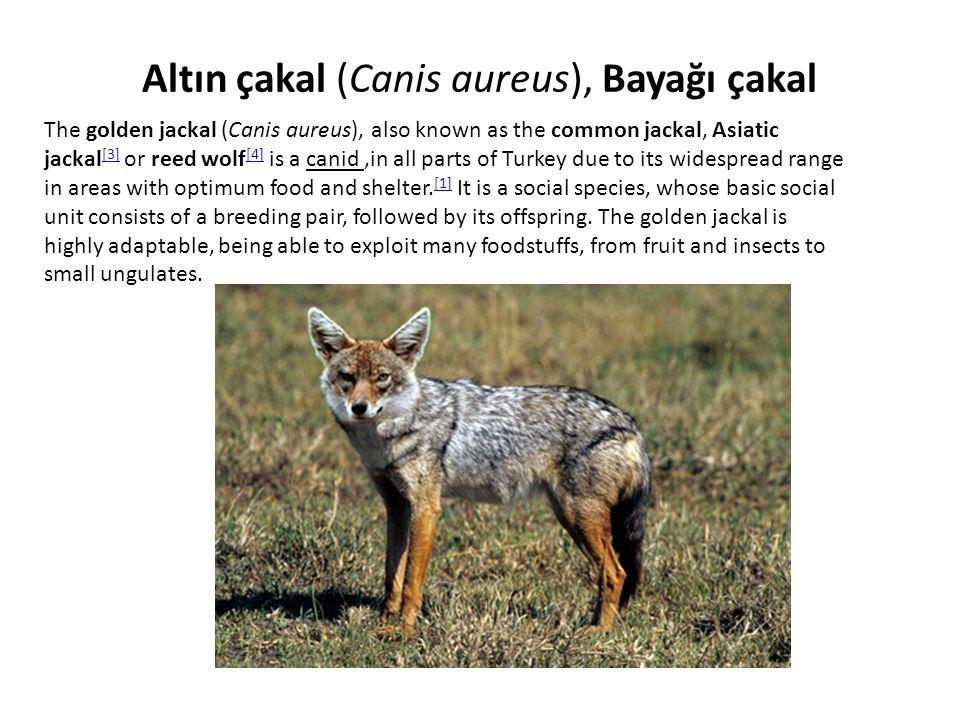 Altın çakal (Canis aureus), Bayağı çakal