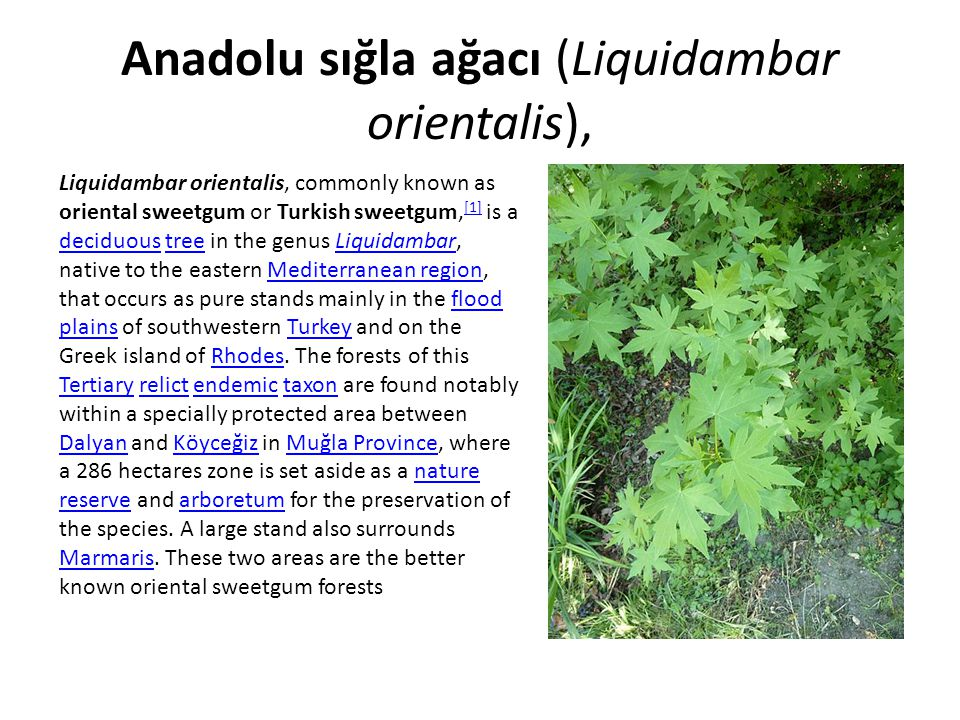 Anadolu sığla ağacı (Liquidambar orientalis),