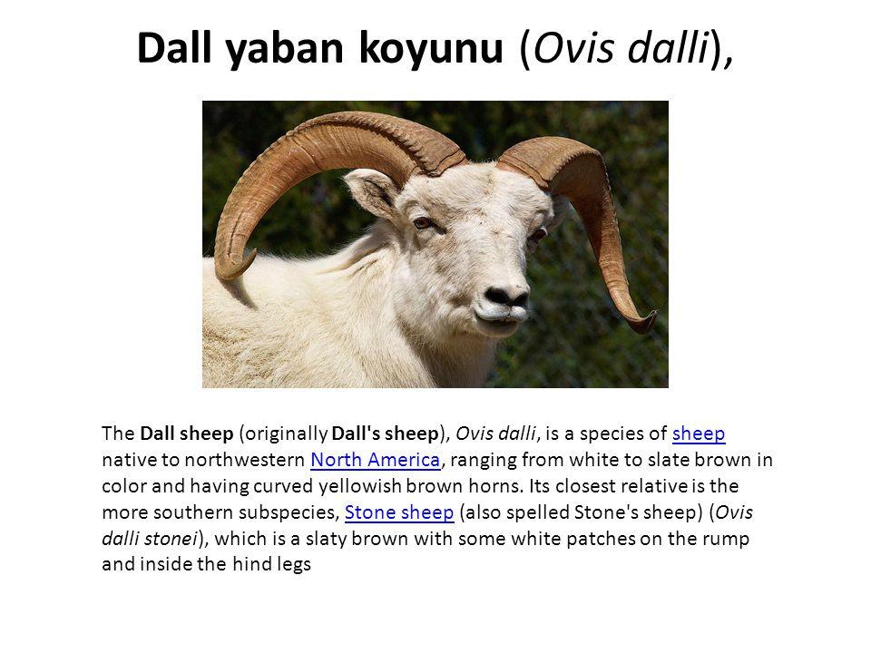 Dall yaban koyunu (Ovis dalli),