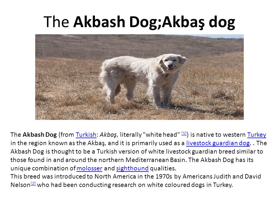 The Akbash Dog;Akbaş dog