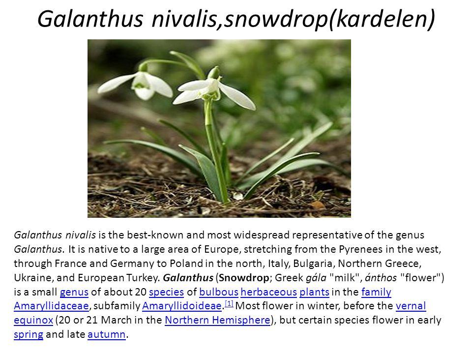 Galanthus nivalis,snowdrop(kardelen)
