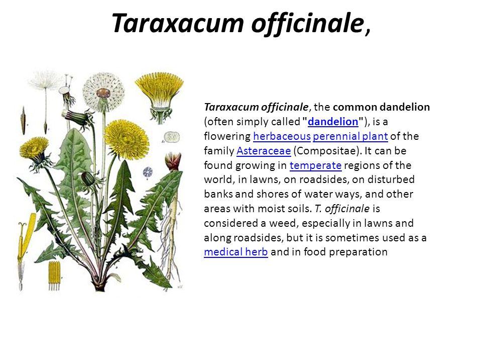 Taraxacum officinale,