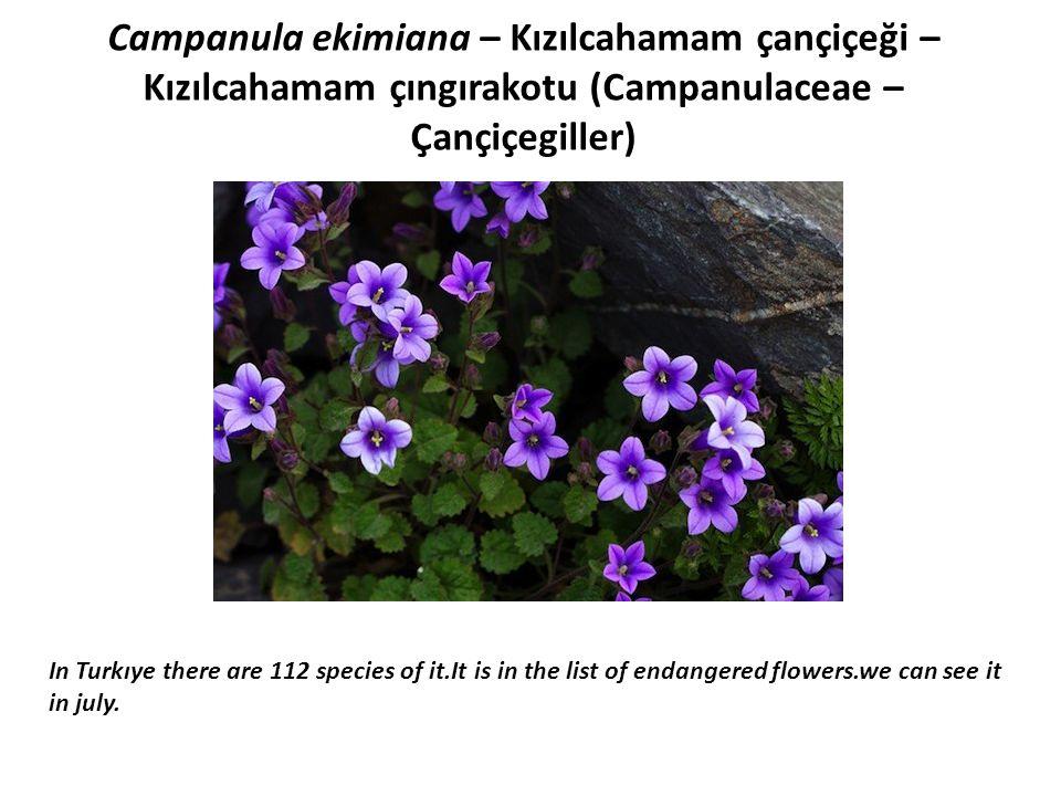 Campanula ekimiana – Kızılcahamam çançiçeği – Kızılcahamam çıngırakotu (Campanulaceae – Çançiçegiller)