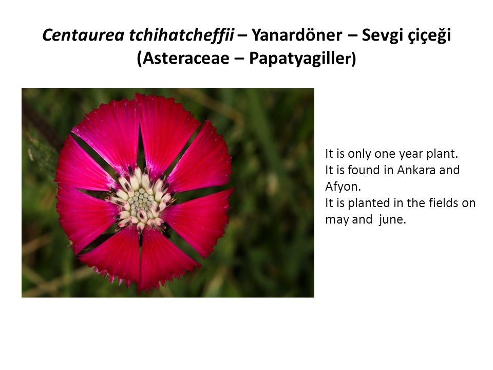 Centaurea tchihatcheffii – Yanardöner – Sevgi çiçeği (Asteraceae – Papatyagiller)
