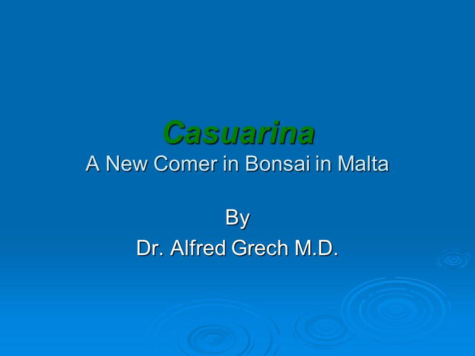 Casuarina A New Comer in Bonsai in Malta