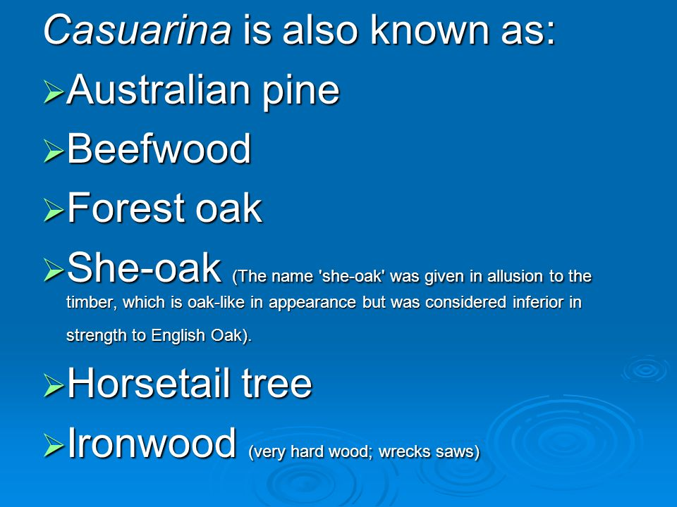 Casuarina is also known as: