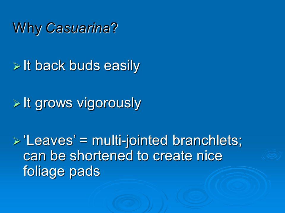 Why Casuarina. It back buds easily. It grows vigorously.
