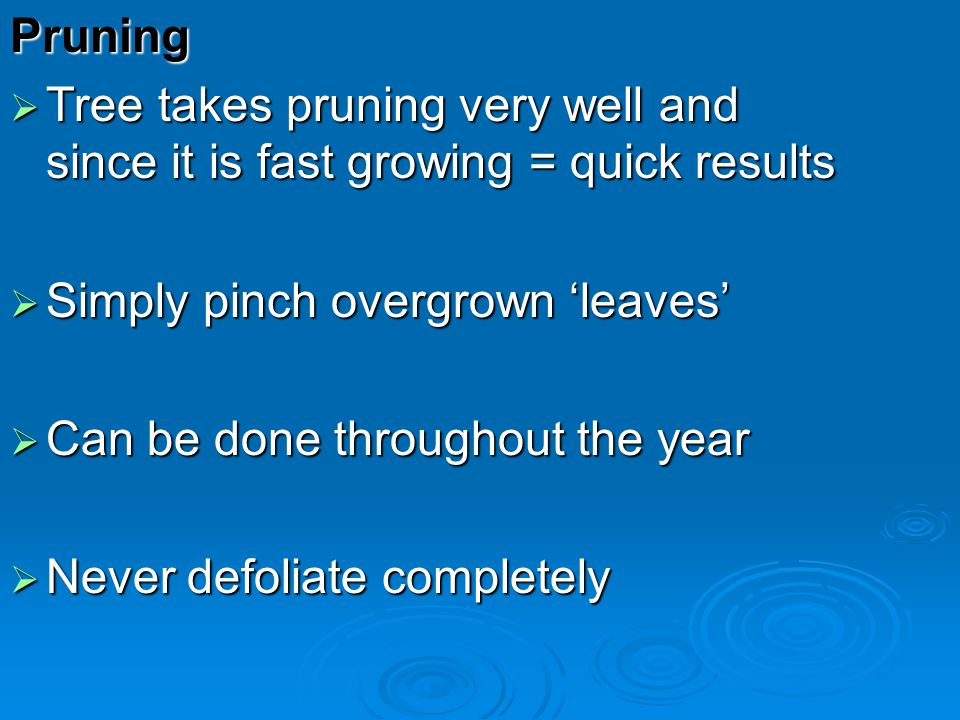 Pruning Tree takes pruning very well and since it is fast growing = quick results. Simply pinch overgrown 'leaves'