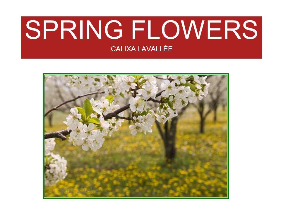 SPRING FLOWERS CALIXA LAVALLÉE