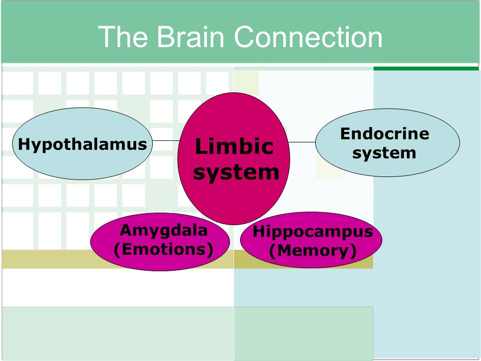 The Brain Connection Limbic system Endocrine Hypothalamus Amygdala