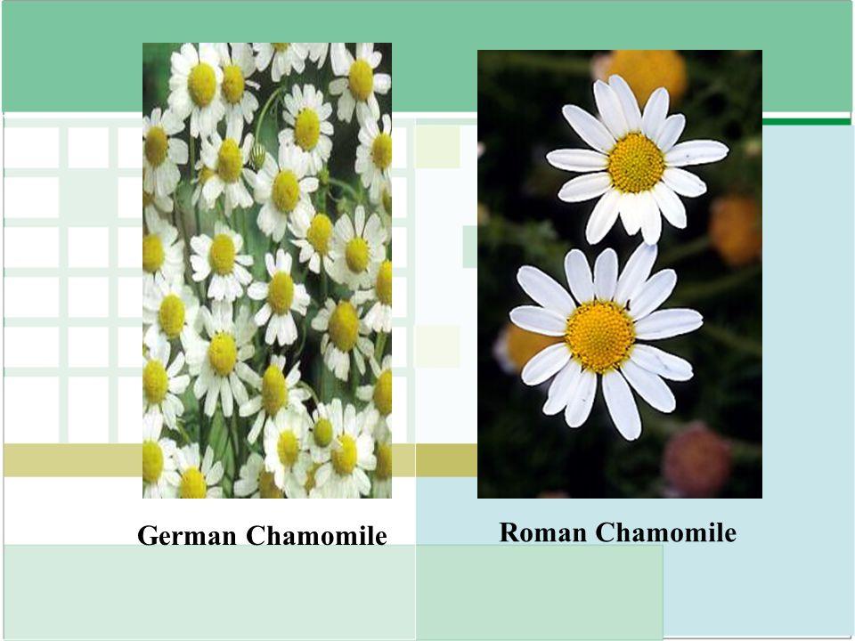 German Chamomile Roman Chamomile