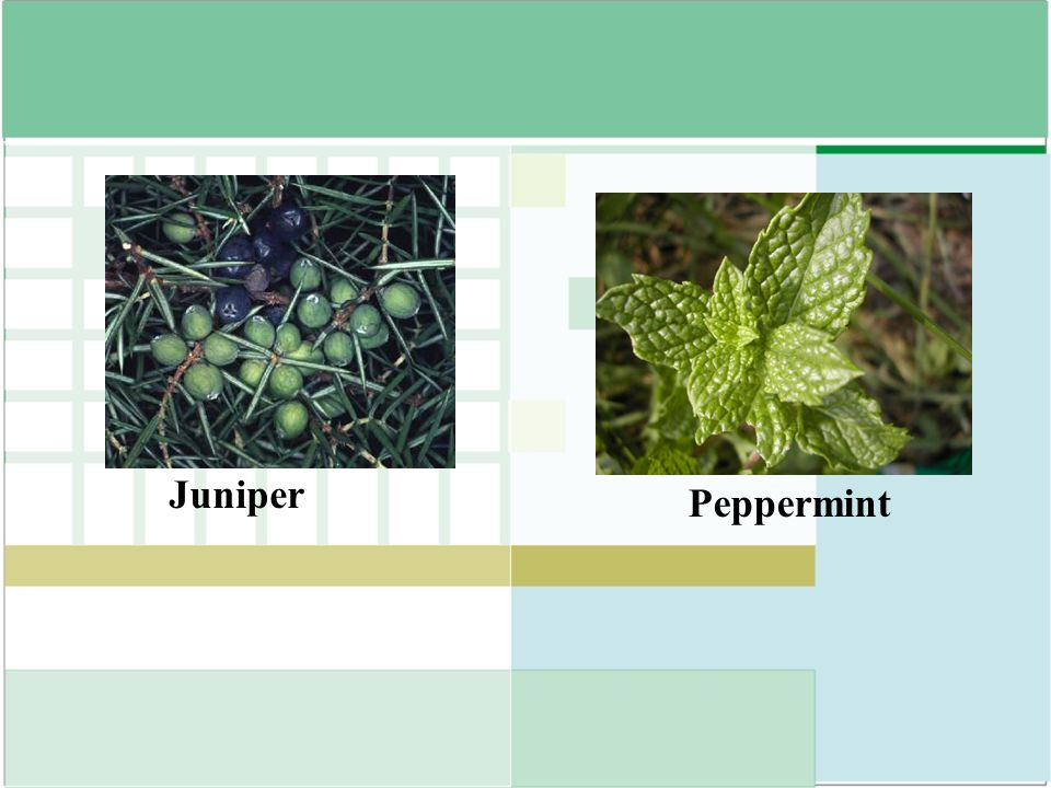 Juniper Peppermint
