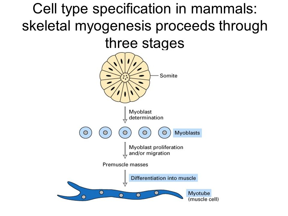 Cell type specification in mammals: skeletal myogenesis proceeds through three stages