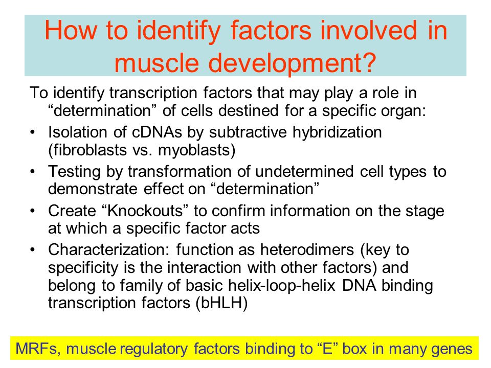 How to identify factors involved in muscle development