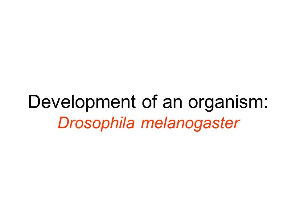 Development of an organism: Drosophila melanogaster