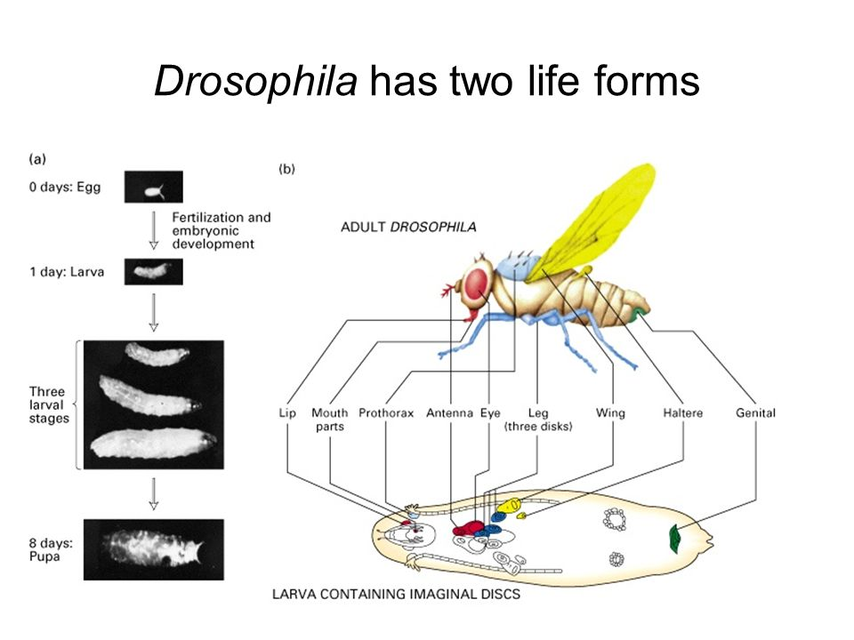 Drosophila has two life forms