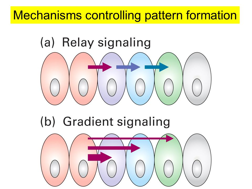 Mechanisms controlling pattern formation