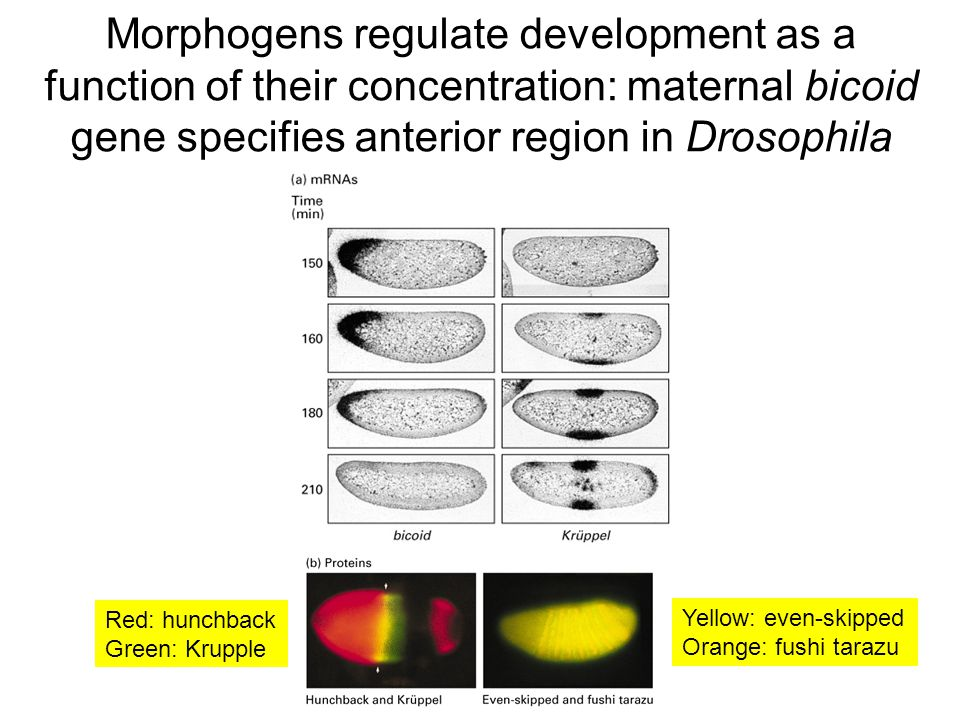 Morphogens regulate development as a function of their concentration: maternal bicoid gene specifies anterior region in Drosophila