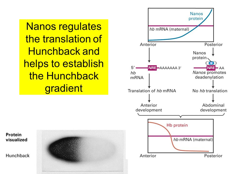 Nanos regulates the translation of Hunchback and helps to establish the Hunchback gradient