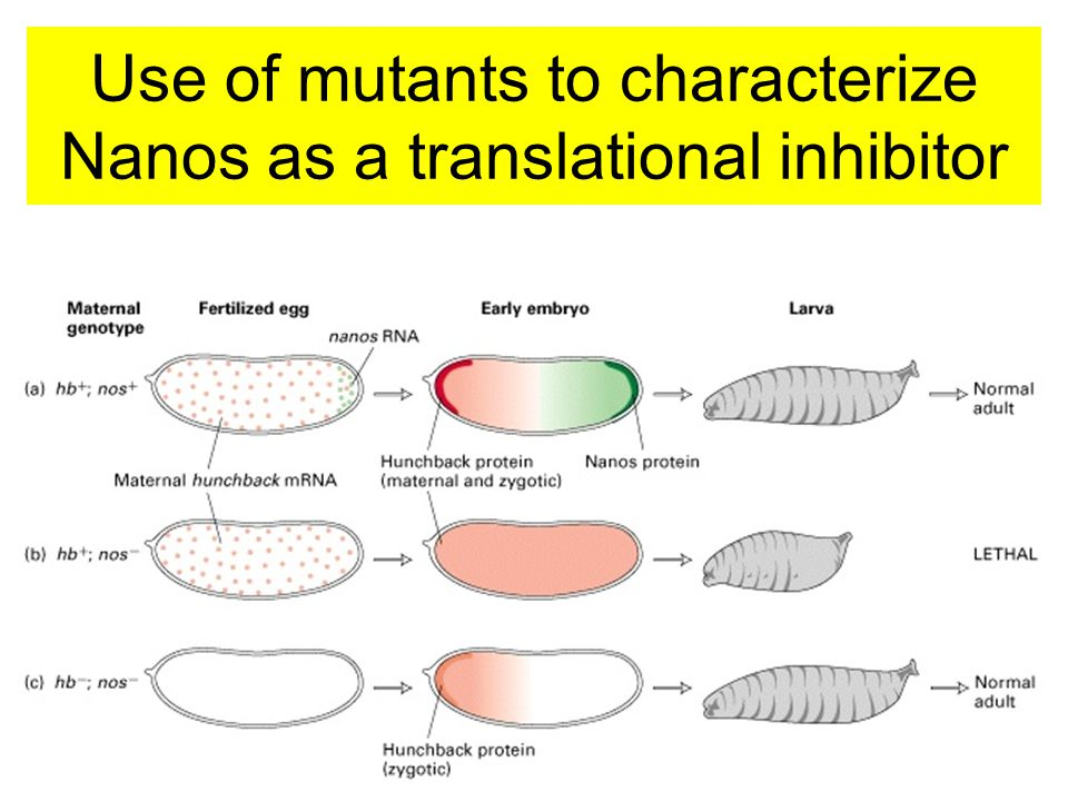 Use of mutants to characterize Nanos as a translational inhibitor