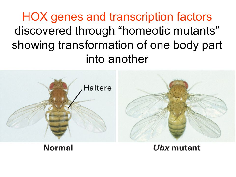 HOX genes and transcription factors discovered through homeotic mutants showing transformation of one body part into another