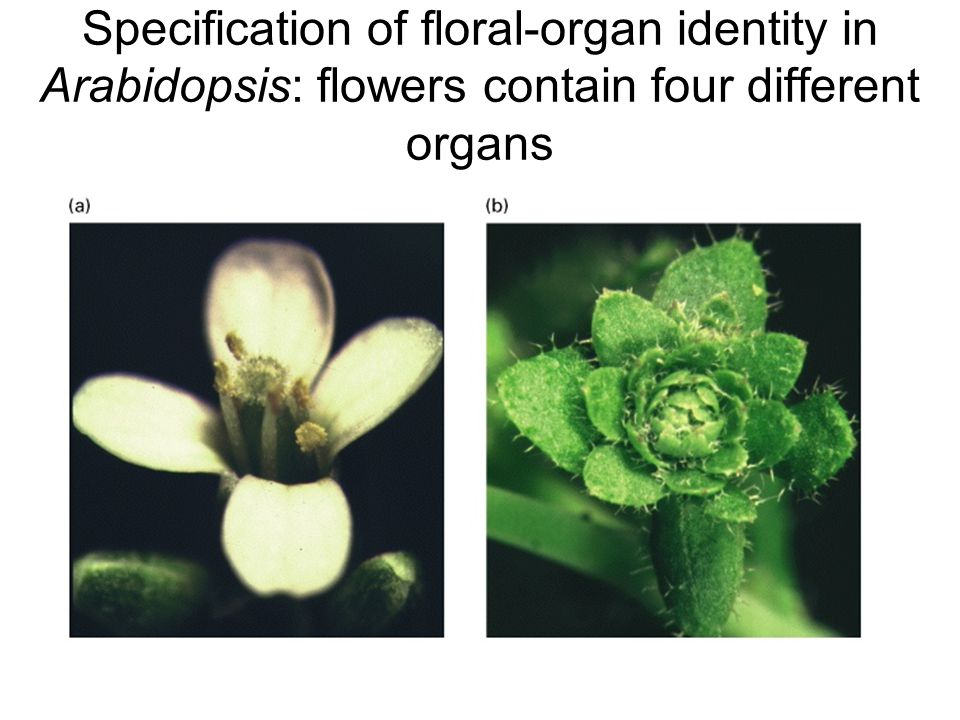 Specification of floral-organ identity in Arabidopsis: flowers contain four different organs