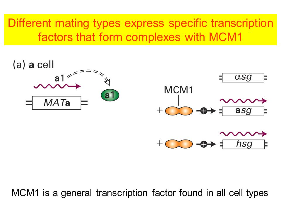 Different mating types express specific transcription factors that form complexes with MCM1