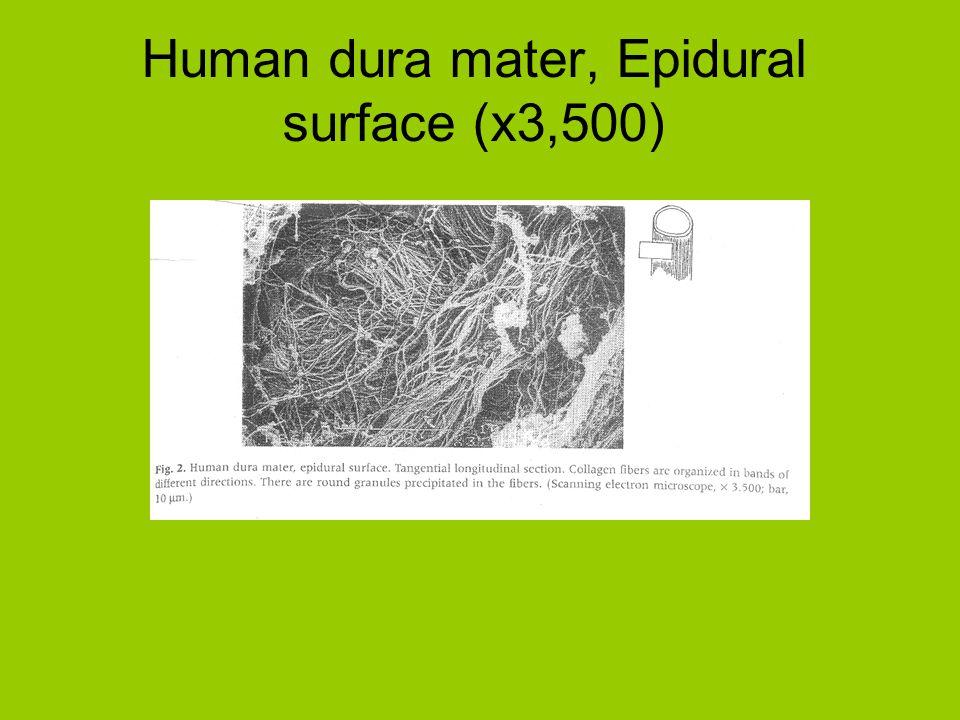 Human dura mater, Epidural surface (x3,500)