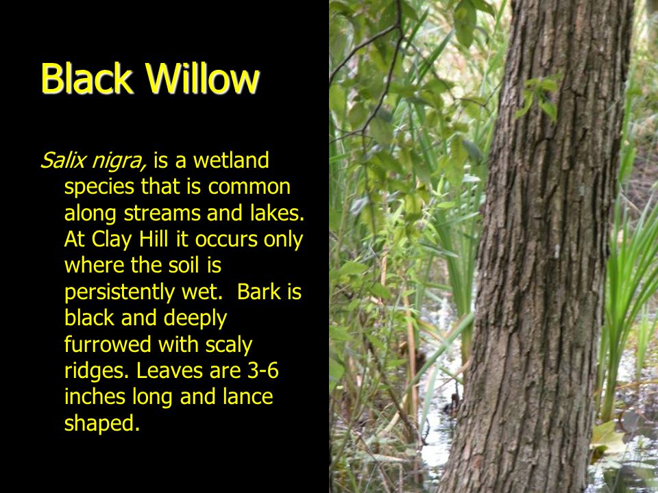 Black Willow